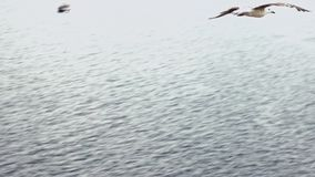 Slow Motion. Top view of common seagulls flying on the mediterranean see. stock footage