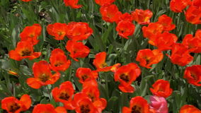 Slow motion top view of red tulips field. Slow motion shot of red tulips field. Top view of spring bright flowers with leaves growing on the ground in daylight stock footage