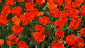 Slow motion top view of red tulips field. Slow motion shot of red tulips field. Top view of spring bright flowers with leaves growing on the ground in daylight stock video footage