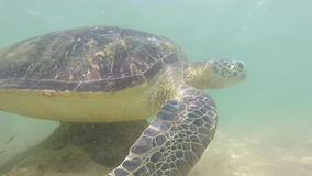 Slow motion of turtle being fed seaweed by local man to entertain tourists stock video footage