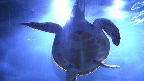 Slow motion turtle swims over the camera. Excellent shot stock video footage