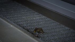 Slow motion of two mice figthing for food inside a home stock footage
