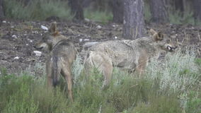 Slow motion of two wolfs eating stock video