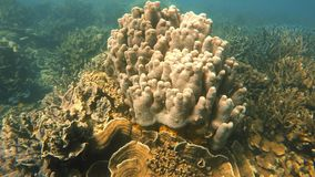 Majestic grown corals. A slow motion underwater full shot of grown corals. The corals are majestic underwater stock video footage