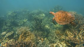 A sea turtle swimming above coral reef. A slow motion underwater shot of a big sea turtle swimming above coral reef and small fish stock video footage