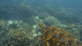 Sea turtle swimming above coral reef. A slow motion underwater shot of a sea turtle swimming freely stock video footage