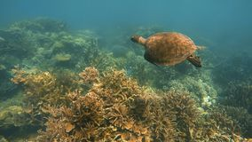 A tracking shot of a sea turtle in Australian sea. A slow motion underwater shot of a sea turtle swimming in the ocean. The shot was tracking the turtle stock video footage