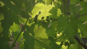 Slow motion unripe bunch of grapes among leaves. Slow motion an immature bunch of grapes among the leaves in the sunlight stock footage