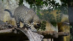 Slow-motion van jaguar die in het meest forrest rusten stock footage