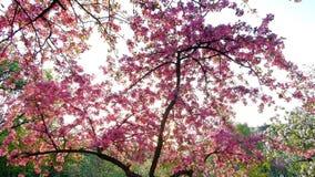 Slow motion vertical panning shot of pink blossoming sakura trees over blue sky in spring park. Slow motion vertical panning shot of pink blossoming sakura trees stock footage