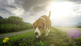 A slow motion video: beagle exploring new ground through the ability to sniff stock video footage