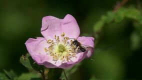 Slow Motion Video: Miner Bee collects pollen on the stamens of a dogrose flower