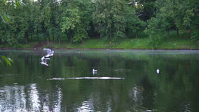 Slow motion video of seagulls and ducks flying above the urban pond. Moscow stock video footage