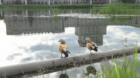 Slow motion video of seagulls and ducks flying above the urban pond. Moscow stock footage