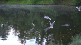 Slow motion video of seagulls and ducks flying above the urban pond stock video footage