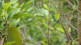 Slow motion view of an insect flying around fresh green leaves on a tree