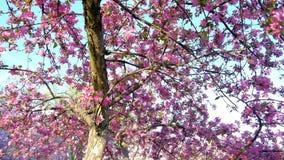 Slow motion walking and panning shot of pink blossoming sakura trees in spring garden or park. Slow motion walking and panning shot of pink blossoming sakura stock video
