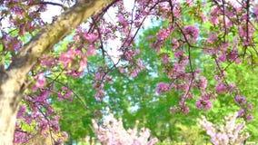Slow motion walking and panning shot of pink blossoming sakura trees in spring garden or park. Slow motion walking and panning shot of pink blossoming sakura stock footage