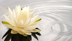 Slow motion of water drop falling into water near white lotus water lily flower