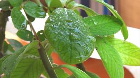 Slow motion Water drops on green plant Royalty Free Stock Image