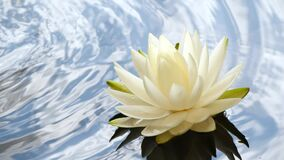 Slow motion of water lily flower on water surface