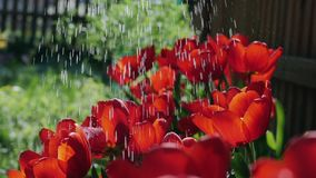 Slow motion watering red tulips in the garden. Slow motion of watering red tulips in the garden on a sunny spring day stock video