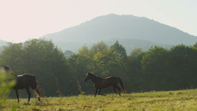 Slow Motion Young Black Horse Runs along Green Field. To family herd against mountains and bright sunlight beam stock video