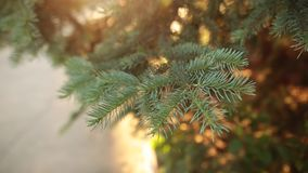 Slow moton shot of coniferous branch with sun light and flare. stock video footage