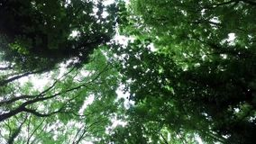 Slow moving, looking upward view through tree canopy, with sun through leaves. Slow moving, looking directly upward through tree canopy, with the sun shining stock footage