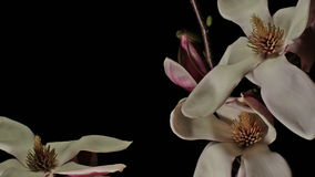Slow Moving Magnolia Flowers Background stock footage