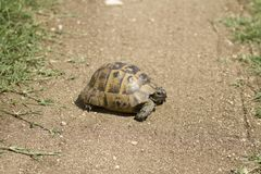 Turtle walking alone on the road. stock photography