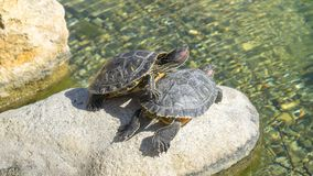 Turtles floating in the water. stock photography