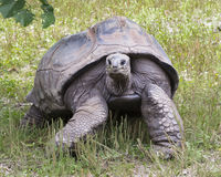 Slow moving today. Tortoise grazing fresh grass sprouts Royalty Free Stock Image