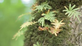Slow pan of fern grow on the tree trunk with moss on it. Bokeh background. Close shot stock video