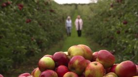 Ripe apples inside a farm. A slow pan to right shot of ripe apples as two woman are walking behind it stock video footage