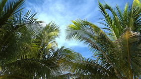 Slow pan through upper portion of palm trees. In breeze stock footage