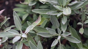 Slow Panning Over Sage Plant stock footage
