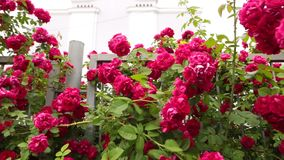 A slow panorama of flowering red roses in a botanical garden. A slow panorama of flowering red roses in a botanical garden in cloudy weather stock footage