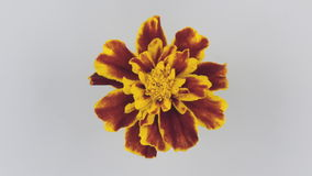 Slow rotation yellow flower on a white background. View from above stock video footage
