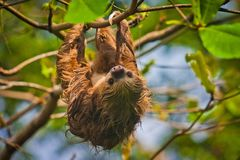 Slow Sloth chilling on the tree in Costarica. Costarican wildlife adventure, amazing vacation in Central America, animal world royalty free stock image
