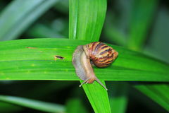 The slow snail creeping. Royalty Free Stock Photo