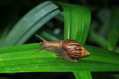 The slow snail creeping. Stock Image