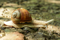 Slow snail. On a forest road Stock Images