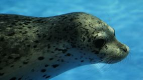 Slow spotted a seal at the zoo swims. Under water stock footage