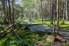 Slow stream flowing across coniferous stand in spring Royalty Free Stock Photo