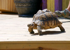Slow Tortoise on a Patio Stock Photography