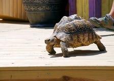 Slow Tortoise on a Patio. A tortoise walks on a patio deck Stock Photography