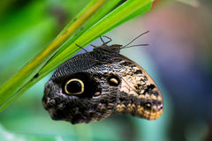 Slow tropical life. Tropical butterfly caligo owl on the leaf. Macro photography of wildlife Royalty Free Stock Photo
