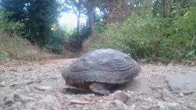 Slow turtle in the forest stock footage