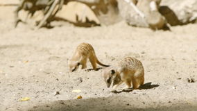 SLOW: Two meerkats dig in a sand. SLOW MOTION: Two meerkats dig in a sand stock video footage